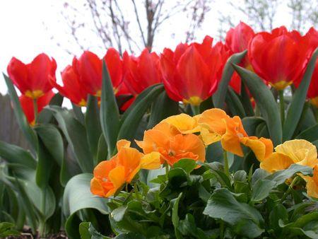 Tulips_pansies