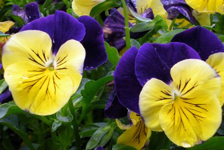Pansies Purple and Yellow