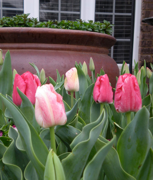 Tulips_pink