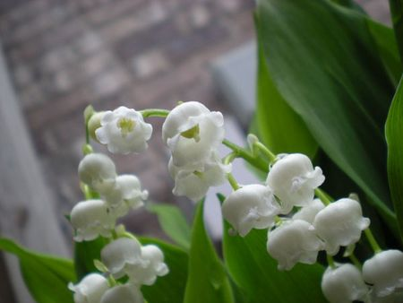 Lily of the Valley too